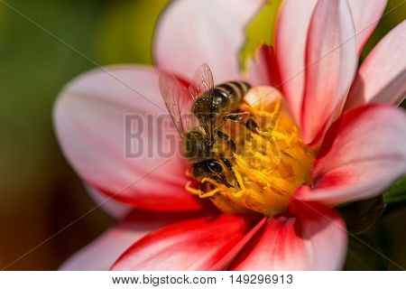 Bee on the flower. Macro photography of nature.