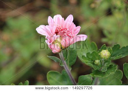 Bud of pink chrysanthemum in the autumn garden