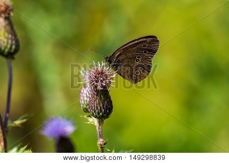 Butterfly on the wild flower. Macro photography of wildlife.