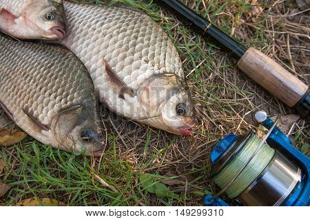 Several Crucian Fish Or Carassius On Green Grass. Catching Freshwater Fish And Fishing Rod With Fish