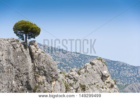 A lonely Pine Tree growing from rocks. Picture taken in El Castell de Guadalest Alicante Spain