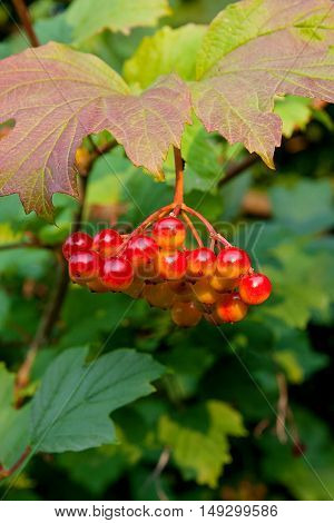 Close Up Of Bunches Of Red Berries Of A Guelder Rose Or Viburnum Berries Shrub.