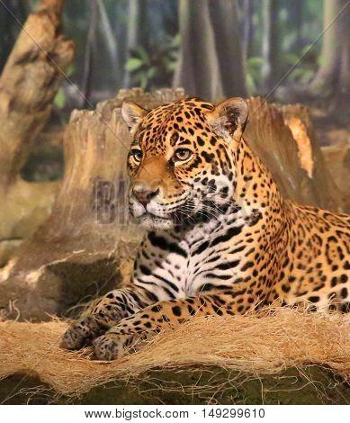 Head and shoulders of leopard big cat