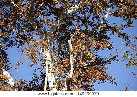 The treetop of a maple tree with white bark and yellow leaves in winter in California.
