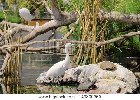 The picture was taken in Spain in the aquarium of the city of Valencia. The picture shows a white American heron in a natural setting. Beside her turtle basking in the sun.