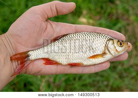 Single Big Common Rudd Fish In Hand.