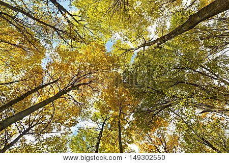 Colorful autumn treetops in fall forest with blue sky and sun shining though trees.