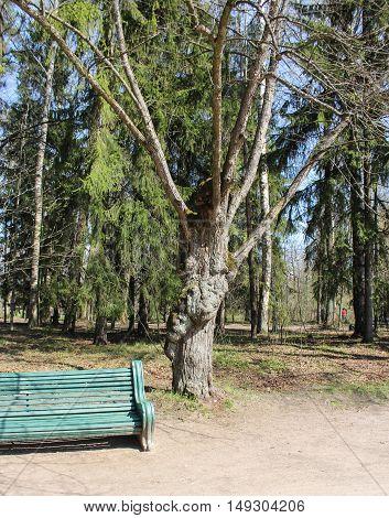 Bench near the old tree. Spring Nature in Pavlovsk Saint Petersburg park.