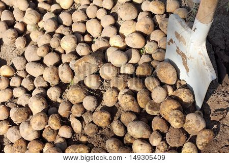 background with a bunch of fresh potatoes dug by hand with a shovel / crop with a personal garden