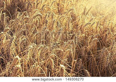 Field of wheat ready to be harvested. Selective focus