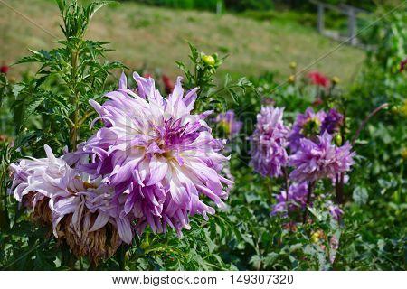 Light violet dahlia on flowerbed at summer park. Focus on flower. Shallow depth of field.