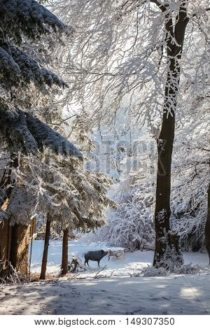The magnificent black wild boar.  Early morning in forest glade with traces of skis. Christmas forest in the snow