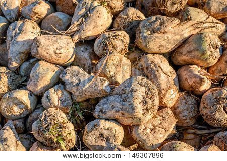 Closeup of piled recently harvested sugar beets at the edge of a Dutch field in early morning sunlight in the beginning of the fall season.