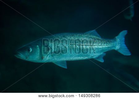 Thicklip grey mullet (Chelon labrosus).