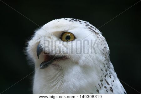 Snowy owl (Bubo scandiacus). Wildlife bird.