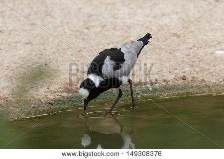 Blacksmith lapwing (Vanellus armatus), also known as the blacksmith plover. Wildlife animal.