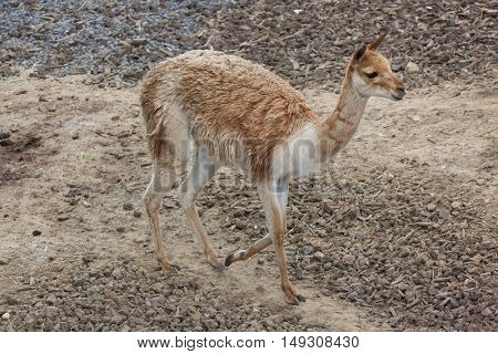 Vicuna (Vicugna vicugna), also spelled as the vicugna. Wildlife animal.