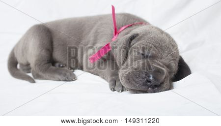 Grey Great Dane pupply that is sleeping on a white sheet