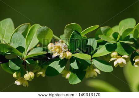 barberry branch with a yellow flower on a blurred background