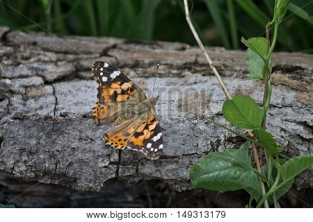 painted lady butterfly closeup sitting on a log
