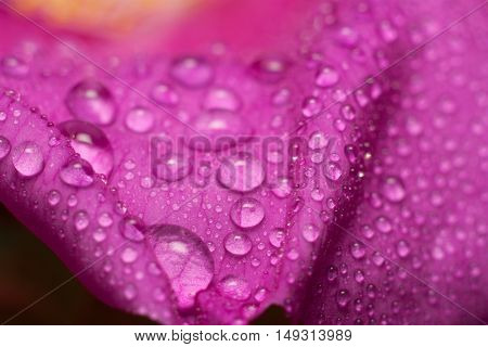 Flower of wild rose in the drops macro