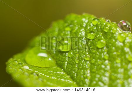 Drops of dew on a leaf in the early morning macro