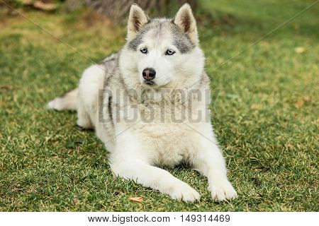 Portrait of Siberian Husky on the background of green grass