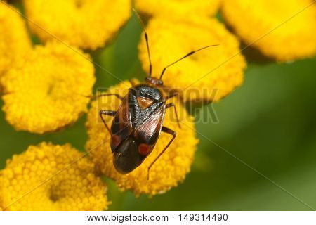 Bedbug sits on a yellow flower macro