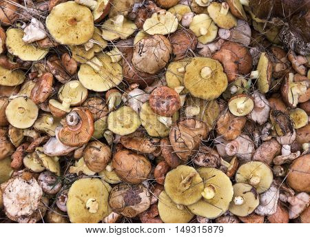 background suillus mushroom forest yellow food nature.