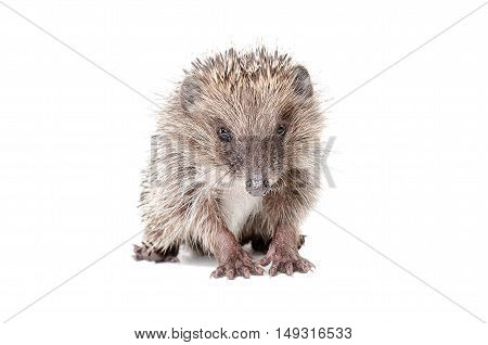 Portrait of a cute little hedgehog sitting isolated on white background