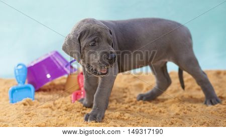 Grey Great Dane purebred puppy that looks like it could be on the beach