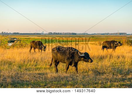 Water buffaloes grazing in large wetlands in a new Dutch nature reserve. It is early in the morning of a sunny day in the autumn season. The grass is already yellowing.