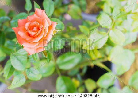 Beautiful orange roses on tree: with blur background