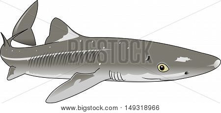 the figure shows the fish dogfish vector
