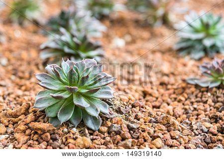 Close up miniature succulent plants in desert garden