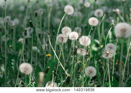 Dandelion on a background of green grass, in the light of the sun, backlight