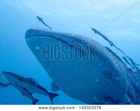 Whale shark. The biggest fish from Gulf of Thailand
