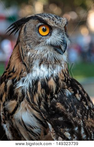 Buff Eurasian Eagle-owl with Orange Eyes, Animal Theme