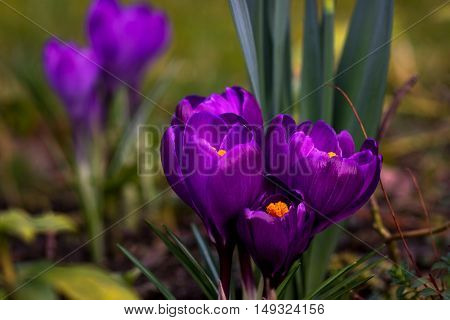 Crocus flower on the spring meadow. Photography of nature.