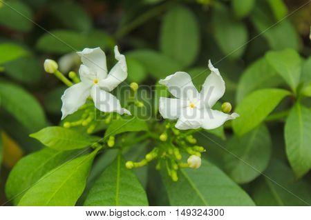 white Cape jasmine, gardenia, white beautiful flower