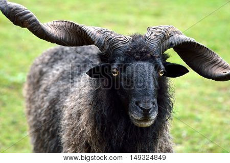 Male goat standing face forward. Goat standing in a meadow.
