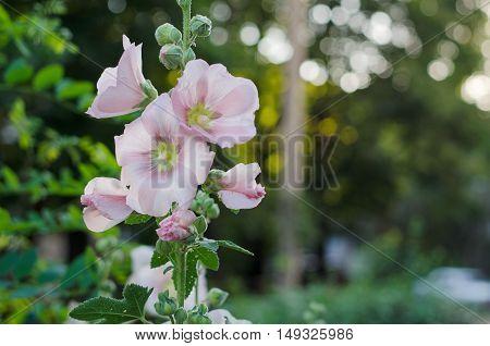 Tender mallow (Malvaceae Alcea Rosea common hollyhock) flowers in a summer garden.