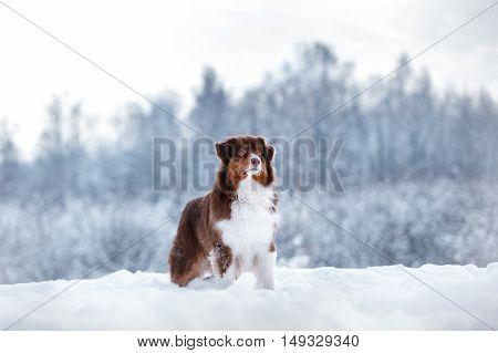 Dog breed Australian Shepherd Aussie walking in winter forest