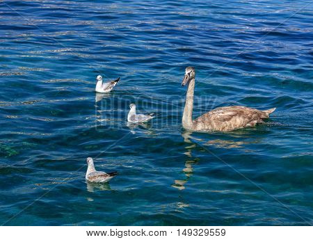 Young swan swimming in blue water accompanied with three gulls. The picture was taken on Lake Geneva in Switzerland.