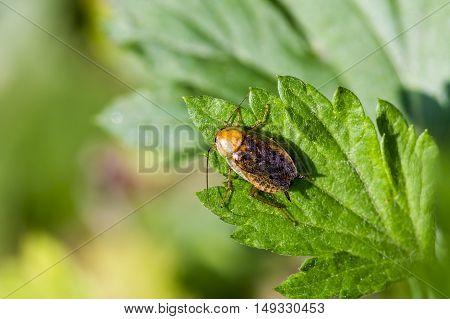 Настоящий дико живущий таракан сидит на листе