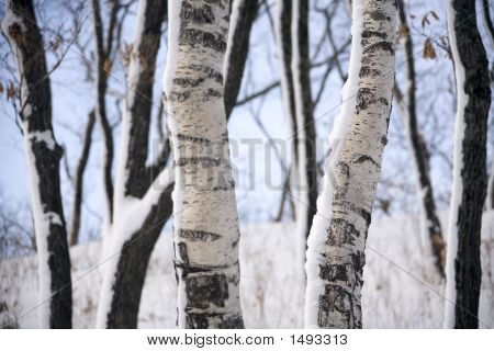 Birches At Winter Forest