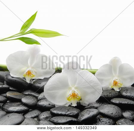 White orchid with black stones, bamboo on wet background