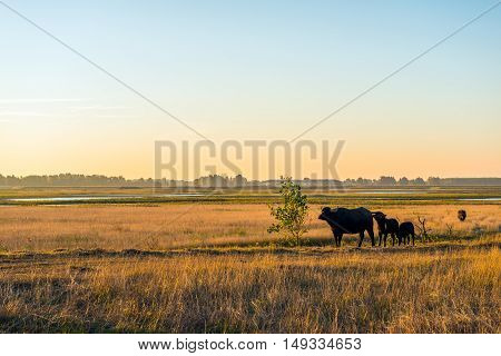Water buffalo cow and its calves grazing in large wetlands in a new Dutch nature reserve. It is early in the morning of a sunny day in the autumn season. The grass is already yellowing.