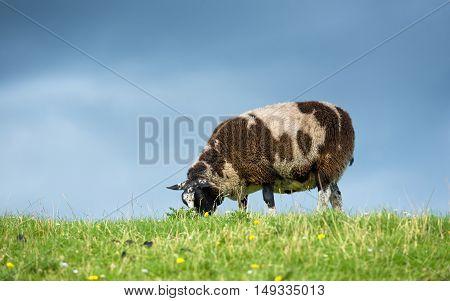 Sheep feeding on grass against cloudy sky