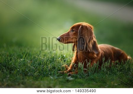 Dog breed dachshund walking in the evening in the summer in the park